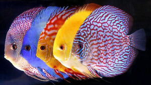 LOOKING FOR BREEDING DISCUS...