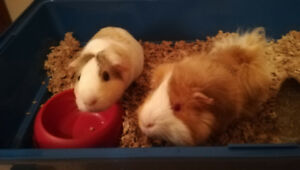 Guinea pigs, male and female