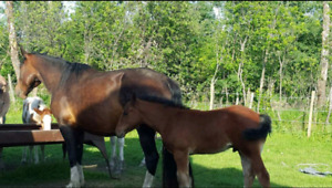 Brood mares for sale