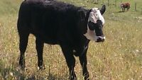 GOOD QUALITY REPLACEMENT HEIFER CALVES AND STEER CALVES
