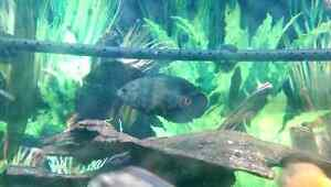 3 Medium  sized Tiger Red Oscar Fish for sale Windsor Region Ontario image 8