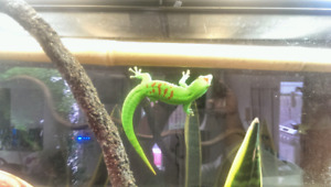 Gaint day gecko