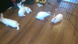 4 month old bunnies & Parents for good home