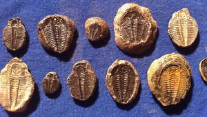 DIG YOUR OWN FOSSILS! - CLAY CHUNKS WITH REAL BURIED TRILOBITES Revelstoke British Columbia image 2