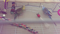 Two gorgeous budgies/parakeets + cage, food, toys & accessories