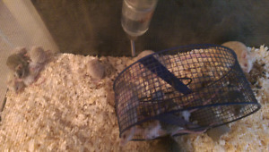 Feeder mouse colony for sale