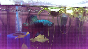 New Shipment!! SHOW Quality Giant Betta & Guppies from Thailand!