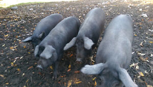 Pigs Are Ready!!!
