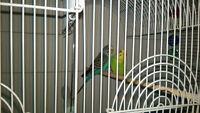 2 breeding pair of english budgies for sale