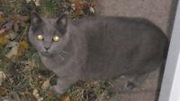 Chat gris trouvé à Montréal-Est