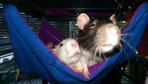 7 female rats to good home