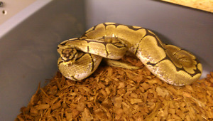 F spider ball python