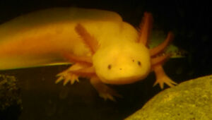 Axolotl with aquarium