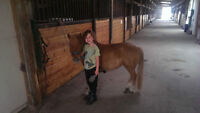 SOLD - Outstanding Ride and Drive Miniature Pony For Sale