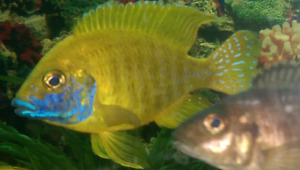 Selling off most of my cichlids...