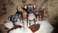 CHIHUAHUA CHIOTS COULEUR RARE