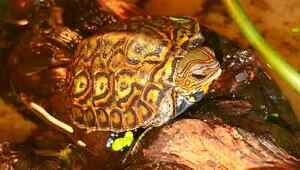 Central American Ornate Wood Turtles