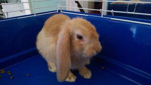 Baby flop ear rabbit
