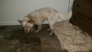 speckled white and beige puppy found off pilot mountain rd)