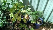 Grapes plant Royston Park Norwood Area Preview