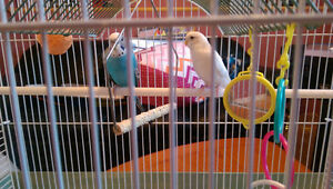 two budgie birds plus large cage and toys!
