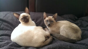 Siamese Kittens - Chattons Siamois