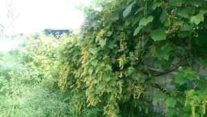 Mature grape wine plants Enfield Port Adelaide Area Preview