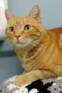 "Adult Male Cat - Domestic Short Hair - orange and white: ""Henry"""