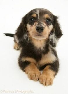 Wanted: WANTED Long Haired Dachshund Puppy