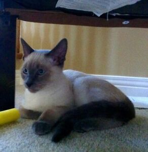 Missing Siamese Kitchener / Waterloo Kitchener Area image 1