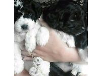 POOCHON PUPPY AVAILABLE BLACK WHITE POODLE BICHON FRISE 6 WEEKS OLD