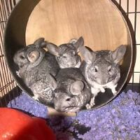 Four Bonded Female Chinchillas W/ Cage And Accessories