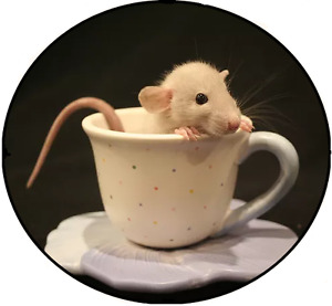 True North Rattery - Pet Rats For Sale