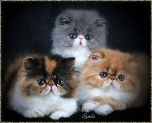 WANTED : Persian or Ragdoll {FEMALE} Kitten Girraween Parramatta Area Preview