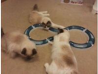 Catit Design Senses Super Roller Circuit Cat Game