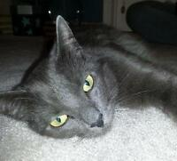"Adult Female Cat - Russian Blue-Domestic Short Hair: ""Juno"""