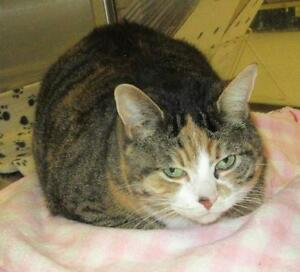 "Adult Female Cat - Domestic Short Hair: ""Bella 16 (PN 76)"""