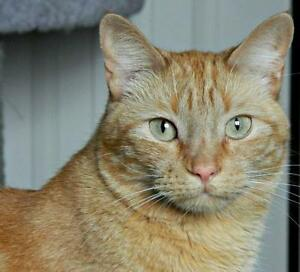 """Adult Male Cat - Domestic Short Hair: """"George Wesley"""""""