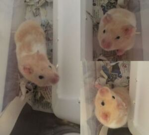 """Adult Male Small & Furry - Hamster: """"Donald"""""""