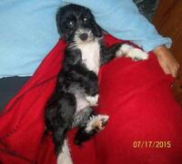 "Young Male Dog - Lhasa Apso-Beagle: ""Bruno"""