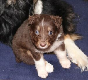 Australian Shepherd Adopt Dogs Puppies Locally In Ontario