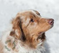 "Senior Male Dog - Australian Shepherd: ""Faeden"""