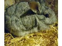 Rare chinchilla rabbit