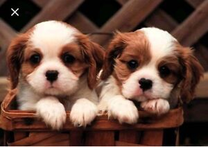 looking for Cavalier king Charles spaniel puppy