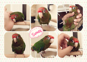 ❤️❤️❤️ Very Tame & Cuddly Rose Crowned Conure ❤️❤️❤️