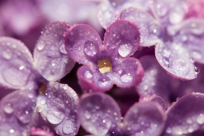 Raindrops on LIlacs!