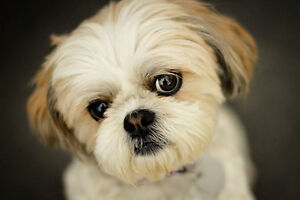 LOOKING FOR Shih Tzu  PUPPIES