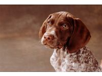 Searching for a short haired german pointer.