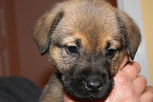 Boxer mix for sale! ***Only 1 female left! JULY 25th