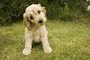 I am looking for a Cockapoo puppy